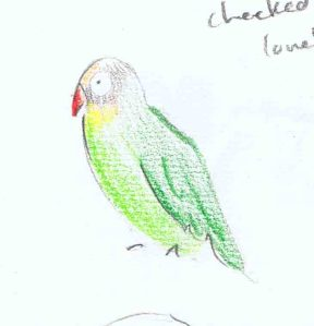 pencil sketch of black cheeked lovebird