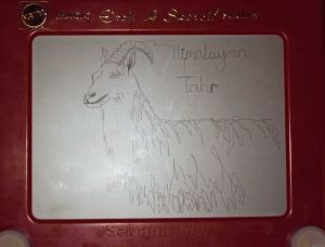 etch a sketch version of himalayan tahr
