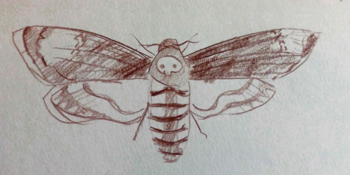 illustration of Death's Head Hawk Moth by Drawesome